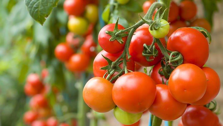 مانتے ہیں کہ ٹماٹر کی ہزاروں اقسام پائی جاتی ہیں؟