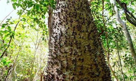 ڈاینامائٹ درخت، جس کا پھل دھماکا کے ساتھ پھٹتا ہے