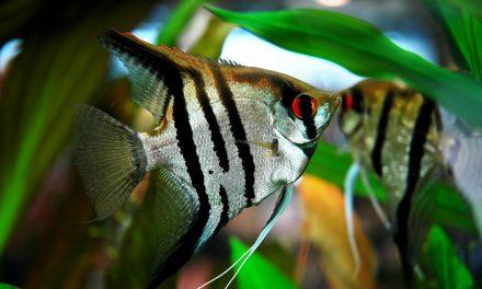 اپنے انڈوں کو منھ میں رکھنے والی عجیب و غریب مچھلی